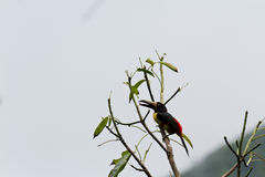 Aracari, Toucan. Aracari toucan perched on a branch in the rainforest of Belize Royalty Free Stock Photo
