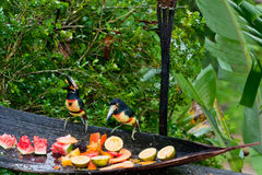 Aracari Toucans. Two medium sized aracari toucans sit on a wooden trough and eat fresh fruit at a jungle resort in Belize Stock Photos