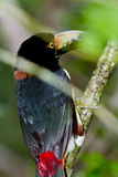 Aracari Tucan. Medium size aracari toucan in the rainforest of Belize Royalty Free Stock Images