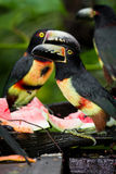 Aracari Tucan. Medium size aracari toucan in the rainforest of Belize Royalty Free Stock Photo