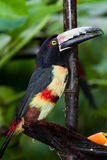 Aracari Tucan. Medium size aracari toucan in the rainforest of Belize Royalty Free Stock Photography