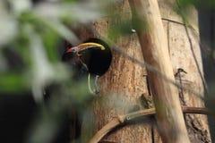 Aracari verde Fotografia Stock Libera da Diritti