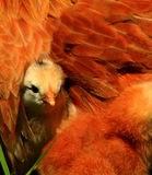 Aracauna Chick 2. Aracauna chick peeking out from underneath mom,chicken Royalty Free Stock Photography