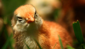 Aracauna Chick. Freshly hatched and soaking in the sun Royalty Free Stock Photos