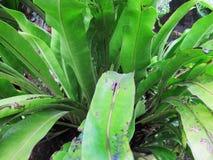 Araceae, πτεριδόφυτα, τροπικές εγκαταστάσεις Στοκ Φωτογραφίες