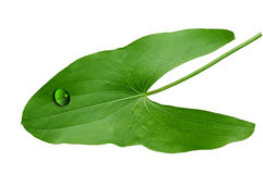 Araceae Leaf Stock Image