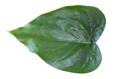 Araceae leaves. On a white background Stock Photography