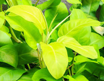 ARACEAE ,  Philodendron cv. Lemon Lime Stock Photo