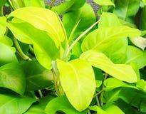 ARACEAE PhilodendronCV. Citronlimefrukt Arkivfoto
