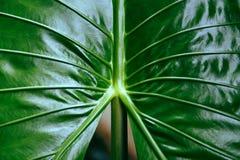 Araceae verde de la hoja del taro gigante del fondo de la textura del modelo de las hojas - malas hierbas del agua de las plantas fotos de archivo
