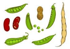 Arachid, słodcy zieleni grochy i fasole, kreślimy Fotografia Stock