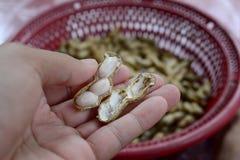arachid strugający, arachidy gotujący się Zdjęcia Royalty Free