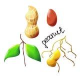 Arachide colorée Image stock