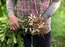 Arachide del raccolto dell'agricoltore Fotografia Stock
