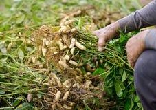 Arachide del raccolto dell'agricoltore Fotografie Stock Libere da Diritti
