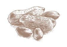 Arachides illustration libre de droits