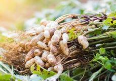 Arachidi fresche Fotografia Stock