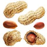Arachidi sgusciate secche ed arachidi incrinate, arachide cruda, dado organico isolato, illustrazione disegnata a mano dell'acque immagini stock libere da diritti