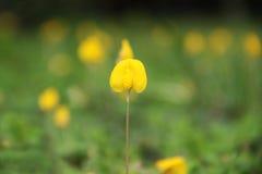 Arachis λουλούδι pintoi Στοκ φωτογραφίες με δικαίωμα ελεύθερης χρήσης