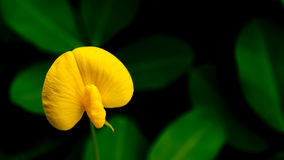 Arachis duranensis. Arachis duranensis flower on dark background Stock Image