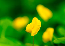 Arachis duranensis. Closeup of Arachis duranensis flowers Stock Photography