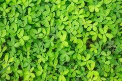 Arachis glabrata / Rhizoma perennial peanut / Ornamental Peanut Stock Photography