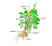 Arachis hypogea Stock Photo