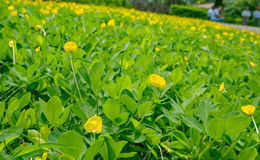 Arachis pinto. I in Myanmar, replace the grass in the garden Royalty Free Stock Image