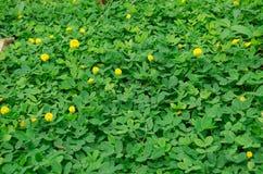 Arachis pintoi ή pinto φυστίκι Στοκ Φωτογραφία