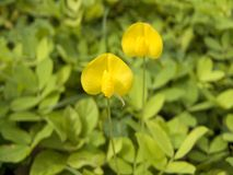 Arachis pintoi. Close up of yellow pinto peanut or Arachis pintoi & x28; Arachis pintoi Krapov. & W.C. Greg. & x29; Beautiful, cute small flower and green leaves Stock Photos