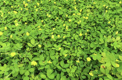 Arachis pintoi flower. In garden Stock Photography