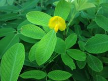 Arachis Pintoi Flower in Miami. Arachis Pintoi flower in Miami, Florida Stock Photography