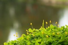 Arachis pintoi flower Royalty Free Stock Image