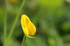 Arachis spegazzinii. Yellow flower, very small and cute Royalty Free Stock Photography