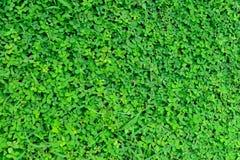 arachis trawy zieleni repens Zdjęcie Stock