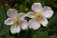 Arachnid Anemone tomentosa two flowers royalty free stock images