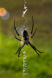 Arachnid Argiope. Argiope, a orb web spider, sits on its large web.  Backlit, its legs look almsot transparent Royalty Free Stock Image