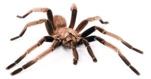 Arachnid. The Сhilobrachys Vietnam Blue tarantula on white Stock Image