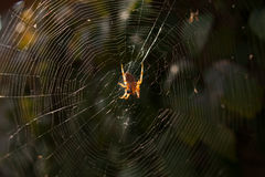 An arachnid sits in its lair. Royalty Free Stock Images