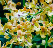 Arachnis annamensis flowers at the Botanic Gardens in Singapore.  Royalty Free Stock Images