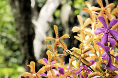 Arachnis orchids in orange yellow and magenta. Selective focus.Background Stock Photos