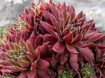 Arachnoideum flowerSempervivum Sempervivum στον κήπο Στοκ φωτογραφίες με δικαίωμα ελεύθερης χρήσης