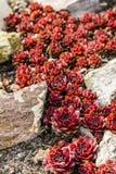 Arachnoideum Sempervivum - κόκκινο Papaver Στοκ Φωτογραφίες