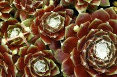 Arachnoidium « Robin » de Sempervivum Photographie stock libre de droits