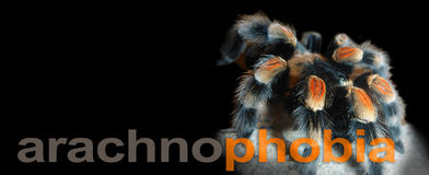 Arachnophobia Banner -. Red knee tarantula spider on a wide black background with the word  arachnophobia running along the bottom and copy space Royalty Free Stock Photography