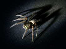 Arachnophobia concept. Hairy spider with large, looming shadow. Scary with huge shadow Royalty Free Stock Photo