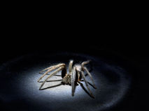 Arachnophobia concept. Large hairy spider in spotlight. Macro. Real spider in real torchlight, hence harsh lighting and specular highlights inevitable and form Royalty Free Stock Images