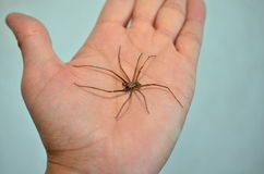 Arachnophobia. A Giant house spider sitting on male hand Stock Image