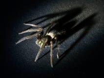 Arachnophobia-Konzept Haarige Spinne mit großem, auftauchendem Schatten lizenzfreies stockfoto