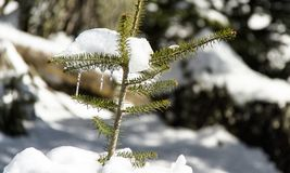 Stalactite on Pine Tree in Arachova Greece mountain. Arachova mountains is a winter destination in Greece Royalty Free Stock Photos
